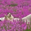 77 30321 127x126 - Grande Slam della natura in Nord America, Grizzly, Orsi Polari e Balene Beluga