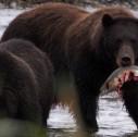 Grizzly 127x126 - Gli orsi dell'Alaska: abitudini e curiosità