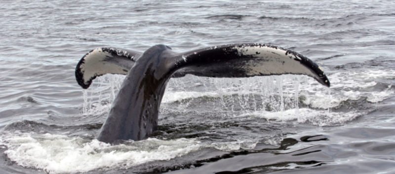 Whale watching in British columbia 800x353 - Whale Watching alle Hawaii: studiare il comportamento delle balene