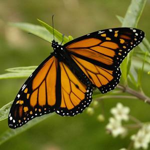farfalla monarca esemplare adulto