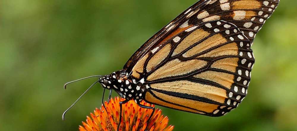 farfalle-monarca-riserva-messico