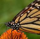 farfalle monarca riserva messico 127x126 - Patrimoni Unesco Messico: Riserva Biosfera farfalle monarca