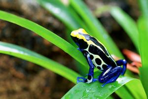 La rana pigmea del costa rica:fauna incredibile e pericolosa