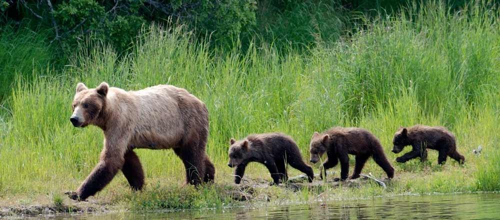 orsi-in-Alaska