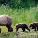 orsi in Alaska 127x126 - Viaggi di nozze: tour British Columbia, Alaska e Montagne Rocciose