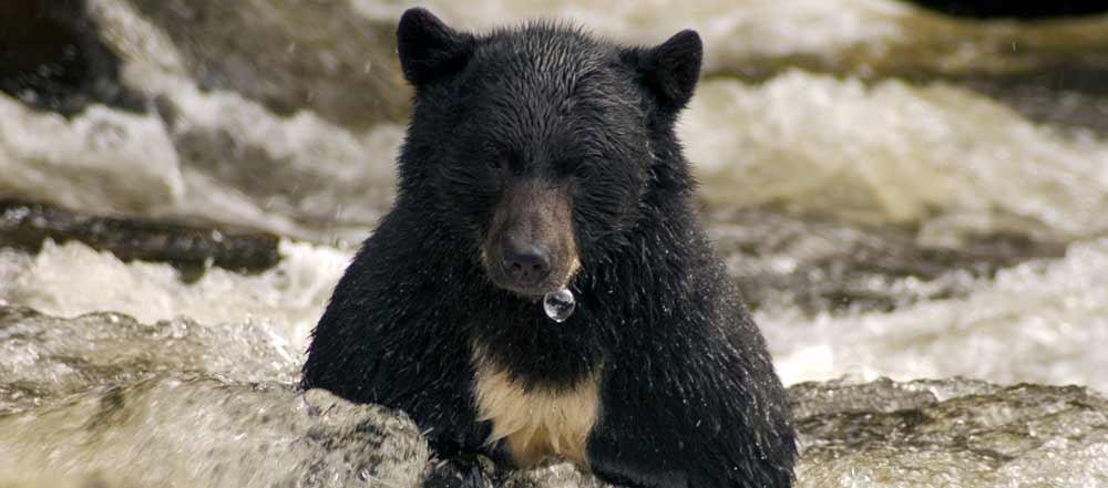 orso-e-pesca-in-Alaska