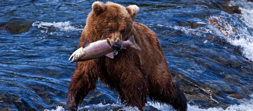 Salmone la pesca in british columbia le curiosit e le for Cabine marine di grandi orsi