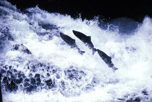 pesca salmone