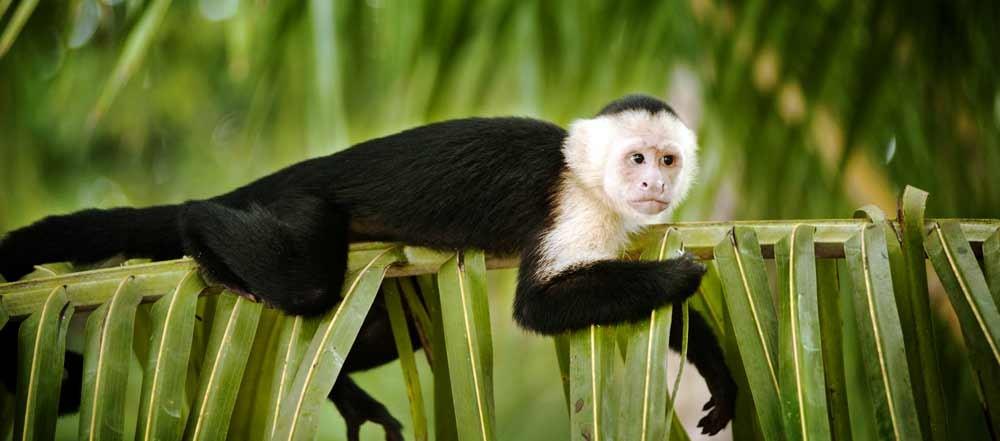 scimmietta-fauna-Costa-Rica