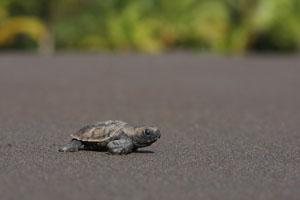 tartaruga Costa Rica