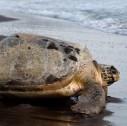 tartarughe marine Costa Rica 127x126 - Viaggi avventura in Costa Rica, alla ricerca delle tartarughe marine