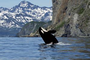 safari orche
