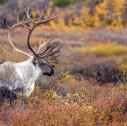 Denali National Park 127x126 - Denali e Monte McKinley: tra temperature estreme