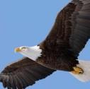 aquila testabianca 127x126 - La fauna dell'Alaska: scopriamo l'aquila testabianca