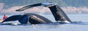 800x280 baleines2etkayak 300x105 - Tour Canada Ovest - in British Columbia alla scoperta di Vancouver Island