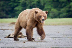 Grizzly Bear Khuntzy Female files 1 300x200 - 4 offerte per la stagione 2019