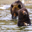 Great Bear Bella Coola Bears 127x126 - Guided Group Tour: British Columbia and Rocky Mountains