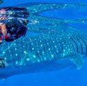 home slide04 1 1 127x126 - Yucatàn: the Maya - the Whale Shark