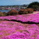 the most beautiful Blooming in Monterey
