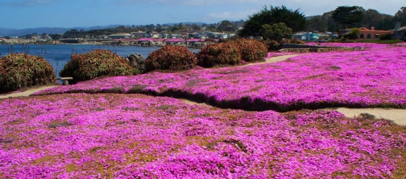 the most beautiful Blooming in Monterey 1 800x353 - Viaggio in California West Coast | spiagge, surf e foreste millenarie