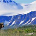 Alaska Grizzlies Kodiak Katmai 7 bear peaks 127x126 - Viaggio nell'Alaska dei Grandi Passi: il nostro itinerario