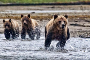 Bella fish charging 300x200 - The Great Bear Rainforest in British Columbia