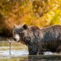 KB 2015 Fall Water Bear DSC00421 1 127x126 - Viaggio in Canada
