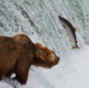 Katmai National Park and Preserve1 127x126 - Il Parco e la Riserva Nazionale del Katmai in Alaska - Il Periodo migliore per andare