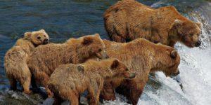 grizzly bear family fishing 22658 990x742 300x150 - Il Parco e la Riserva Nazionale del Katmai in Alaska - Il Periodo migliore per andare
