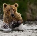 grizzly bear fishing in water 1 3840x2160 mini 5 127x126 - Viaggio guidato di Gruppo - Foto-safari in British Columbia | I  Grizzly e Orche della West Coast